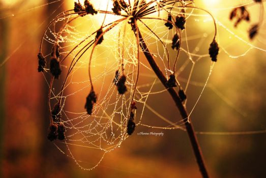 Spider pearls by Floreina-Photography