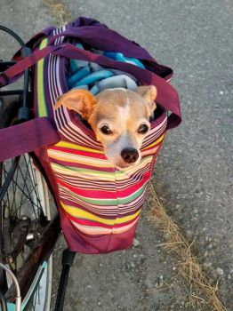 Family Chihuahua goes for another bike ride by lestnill