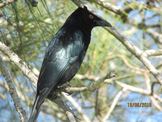 Spangled Drongo by MissyFrissy