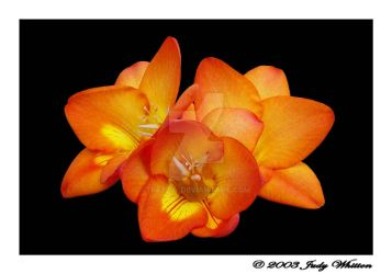 Freesia by Tazzy-