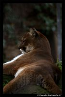 Pondering Puma by TVD-Photography
