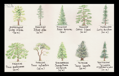 Tree Study - Conifers 2 by TheUnconfidentArtist