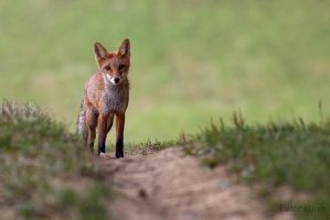 Red fox cub by xBajnox