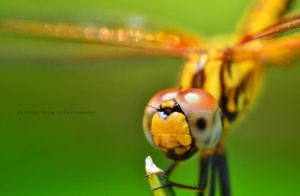 Dragon Fly 1... by prateekverma23