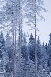 Frosty trees by FatalBite