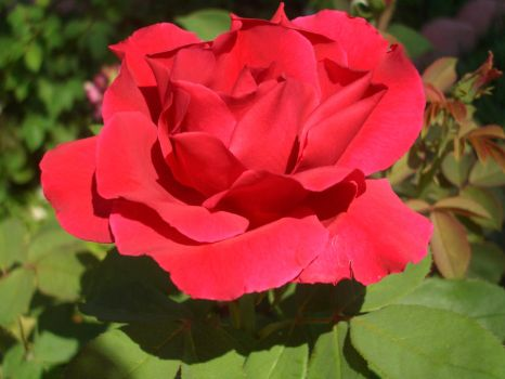 Another Red Rose..... by LadyWined