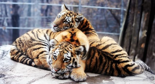 Amur Tiger Stock 15: Cubs by HOTNStock