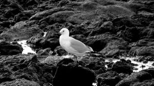 Sea Gull, On the Rocks by agreenbattery