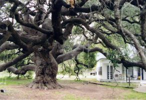 Large Oak Tree in Texas by DonnaGolden