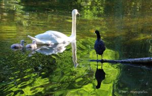 Young swan admiration by MT-Photografien
