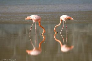Two Flamingos Heart Shape 1 by photoboy1002001