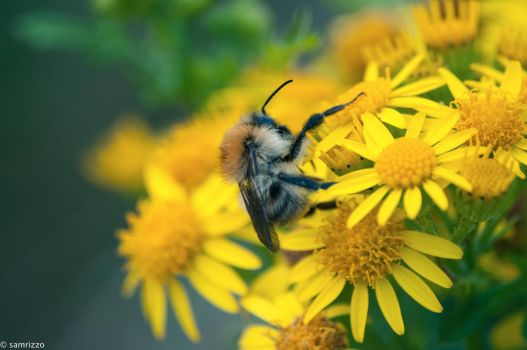 Busy Bee by samrizzo