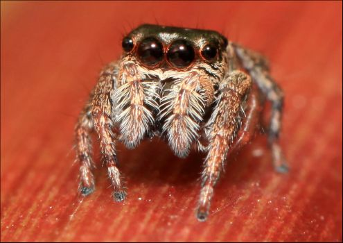 Ludicra Jumping Spider by Firey-Sunset