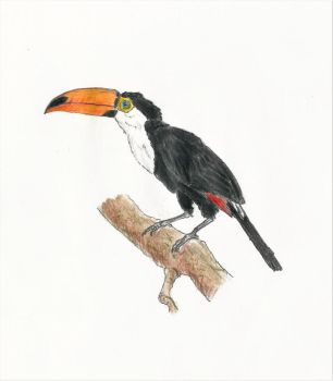 Toco Toucan by ComtePatatas