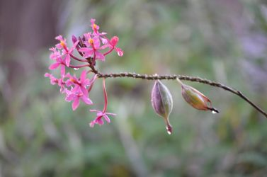 Dew on an orchid with aerial roots by westaussie
