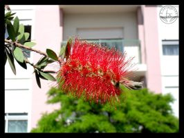 Callistemon by DragoN-FX