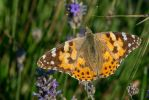 butterfly 2 by Perseus67