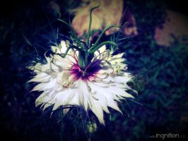 Summer Flower 2012 - 25 by Ingnition