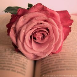 Pink rose and book by FrancescaDelfino