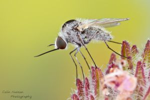 Bee fly - Geron sp. by ColinHuttonPhoto