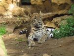 Indian dots. by Alan-the-leopard
