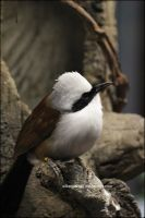 White Crested Laughing Thrush by SilkenWinds