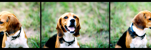 The beagle by visuali