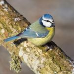 Sunny cold day and a Blue tit by roisabborrar