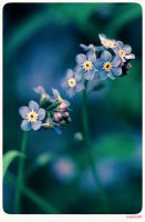 Forget me not - 5 by anjali