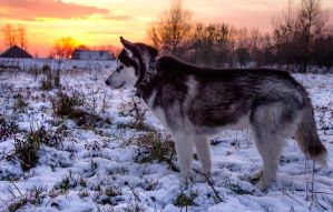 Husky by Bluickage