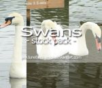 Swans stock pack by LuneBleu-Stock