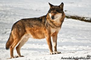 Lobo the Wolf by amrodel