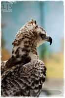Crowned Eagle by lucicerious