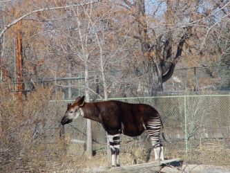 STOCK - Denver Zoo - Okapi 1 by calisphere