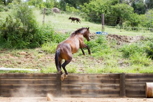 KM Brown leap showjump view behind by Chunga-Stock