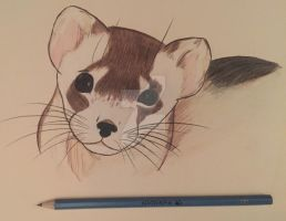 Black Footed Ferret by Nocturne-Colour