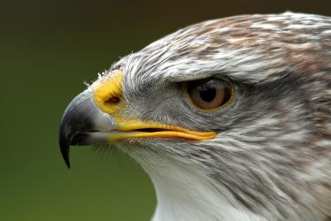 Ferruginous Hawk/Eagle by cycoze