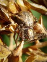 Crab Spider by Iris-cup