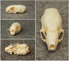 Ermine skull by seriousbadger