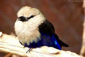 Blue bellied roller by MicWits101