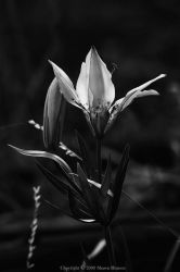 Floralcosm IV - bw by wroth