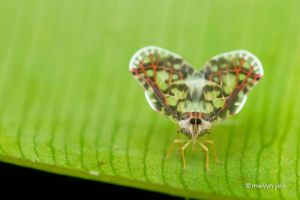 Planthopper by melvynyeo