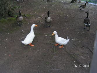 Peking Ducks And Canadian Geese. by PoundCakeMLP2000