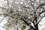 Pale Cherry Blossom Tree by ianwh