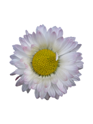Daisy-PNG Stock by allison731