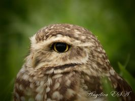 Burrowing Owl by RuskaAdagio