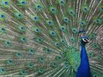 Peafowl: Feathers of a Fan. by Lacrimosa-Angelus