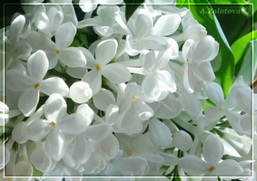 White Lilac by AnnaZLove