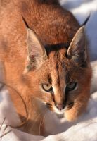 little caracal II by Draghonia