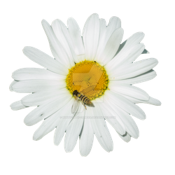 Daisy with Hooverfly PNG by Bunny-with-Camera
